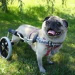 A mozgáskorlátozott kutyák legjobb barátja: a kutya kocsi
