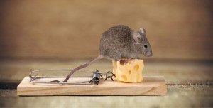 Milyen betegségeket kaphatunk el az egerektől?